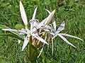 Crinum species W IMG 1108.jpg