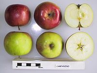 Cross section of Campanino, National Fruit Collection (acc. 1958-140).jpg
