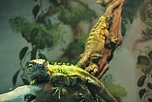 Ctenosaura pectinata at the Denver Zoo-2012 03 12 0682.jpg