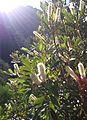 Cunonia capensis flowers on Devils Peak indigenous forest - Cape Town 5.JPG