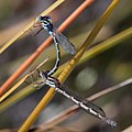 Cup Ringtail, Austrolestes psyche, mating pair.jpg