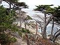 Cupressus macrocarpa Pinus radiata2.jpg