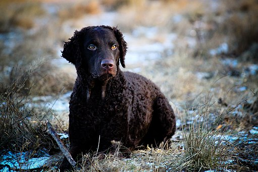 Curly coated retriever 1