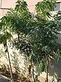 Curry patta plant.JPG