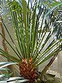 Cycas thouarsii - Palmengarten Frankfurt 1.jpg