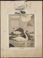 Cygnus olor - 1700-1880 - Print - Iconographia Zoologica - Special Collections University of Amsterdam - UBA01 IZ17600225.tif