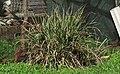 Cymbopogon citratus (Brazil).jpg