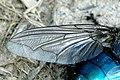Cynomya.mortuorum.wing.detail.jpg