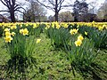 Daffodils in Trent Park, London N14 - geograph.org.uk - 1805609.jpg