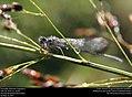 Damselfly (Odonata- Zygoptera) (23933315168).jpg