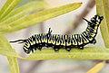 Danaus Chrysippus 23-01-10 -Oruga - Eruga - Caterpillar (4299619901).jpg