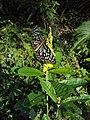Dark Blue Tiger - Tirumala septentrionis on Crotalaria retusa (4).jpg