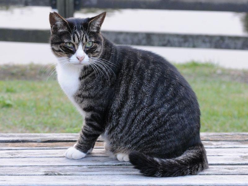 Jet Black Cat With White Stripes
