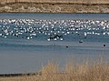 DeSoto Snow Geese and Morphs and White Fronted Geese in flight.jpg