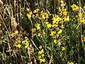 De gele Rolklaver. Lauwersmeer.JPG
