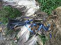 Dead bird in balloon string (8080500892).jpg