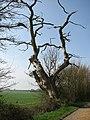 Dead tree beside driveway - geograph.org.uk - 772789.jpg