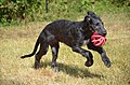 Deerhound, chiot.jpg