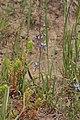 Delphinium nuttallianum 4817.JPG