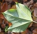 Dendropanax trifidus (leaf s5).jpg