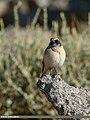 Desert Wheatear (Oenanthe deserti) (36955356381).jpg