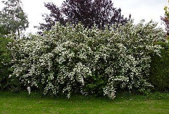 Deutzia - Shrub of Deutzia scabra in flower, Belgium