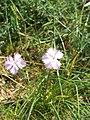Dianthus gallicus.jpg