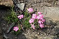 Dianthus pavonius kz01.jpg