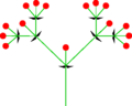 Dichasium (inflorescence).PNG