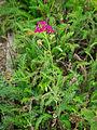 Die Schafgarbe, lat. Achillea millefolium, 'Cerise Queen' 10.jpg