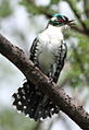 Diederik cuckoo, Chrysococcyx caprius, at Pilanesberg National Park, South Africa (15816308848).jpg