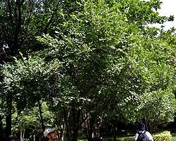 Diospyros chloroxylon in Hyderabad, AP W IMG 7805.jpg