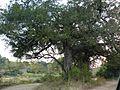 Diospyros mespiliformis Kruger-NP.jpg