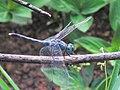 Diplacodes trivialis, ground skimmer (male) .jpg