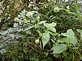 Dipsacus pilosus leaf (10).jpg