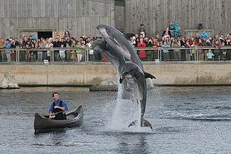 Dolfinarium Harderwijk - Dolphins at the Dolfijnendelta performing in a show.