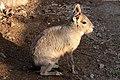 Dolichotis patagonum 02.jpg