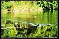 Domesticated ducks (5273800261).jpg
