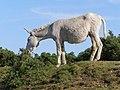 Donkey hybrid browsing near East End, New Forest - geograph.org.uk - 455835.jpg