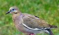 Dove - Whitewinged (12386994).jpg