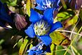 Downy gentian (Gentiana puberulenta) (15140234308).jpg