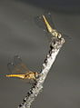 Dragon flies, two landed. (12255623974).jpg