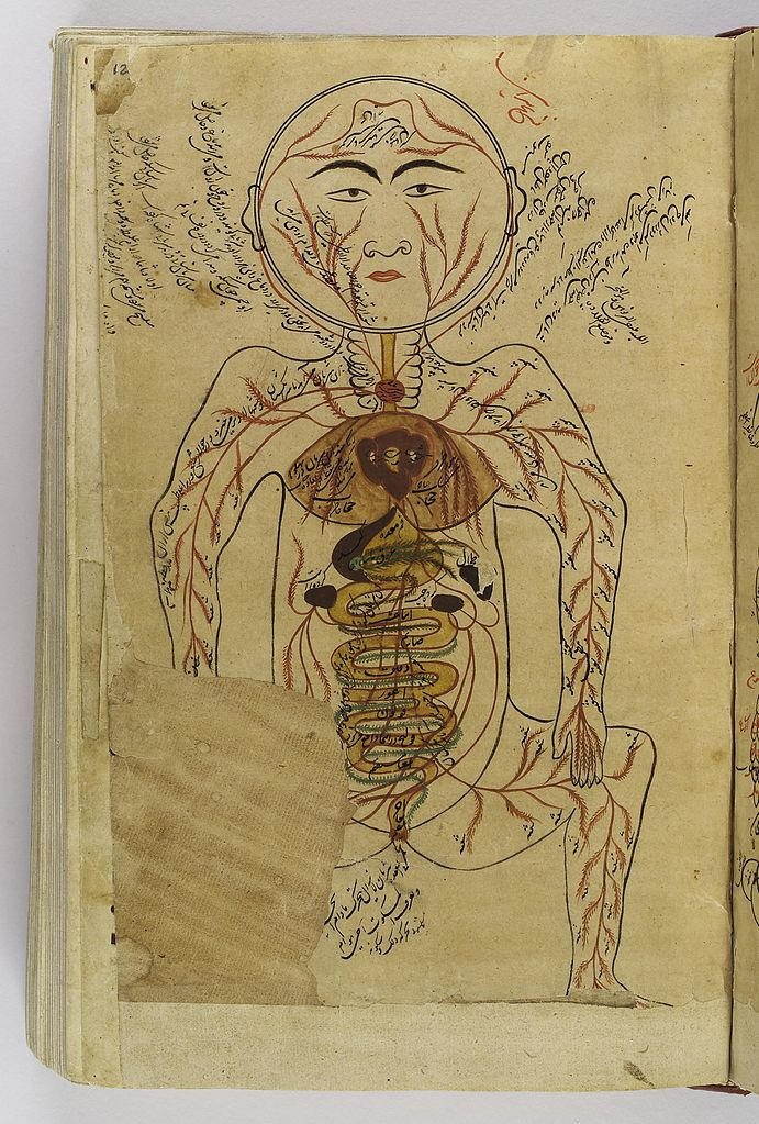 চিত্র:Drawing of viscera etc., Avicenna, Canon of Medicine ...
