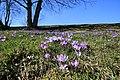 Drebacher Krokuswiesen..2H1A0242WI.jpg