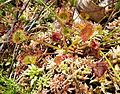 Drosera rotundifolia sl1.jpg
