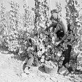 Druivenplukkers aan het werk, Bestanddeelnr 254-4161.jpg