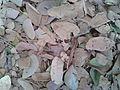 Dry fallen leaves at Kakinada 2014-01-02 20-18.jpg