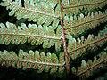 Dryopteris affinis leaf detail.jpg