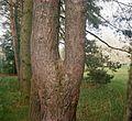 Duální rozdvojení kmene borovice.jpg