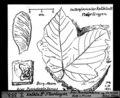 ETH-BIB-Kalktuff Flurlingen, Acer Pseudoplatanus, Blatt und Frucht-Dia 247-Z-00353.tif